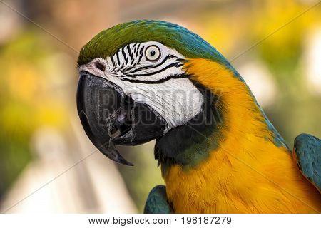 Closeup portrait of macaw parrot; ara parrot portrait; bright feathered parrot
