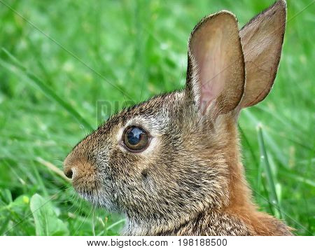 Portrait of eastern cottontail rabbit in forest of Thornhill Canada August 2 2017