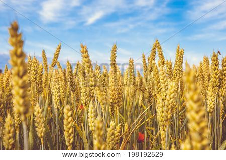 Golden wheat ripe field. Wheat stalks and grain red poppies close up yellow and orange with blue sky with clouds background. Summer harvest concept for food growing crops health nutrition agriculture