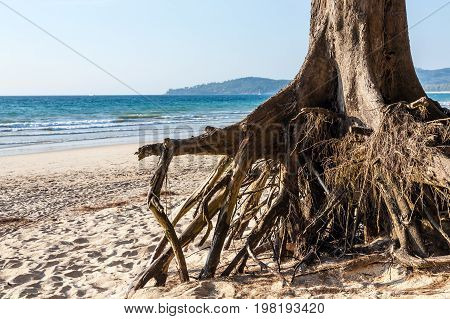 Roots of the tree after a violent storm. Bangtao Beach, Phuket, Thailand
