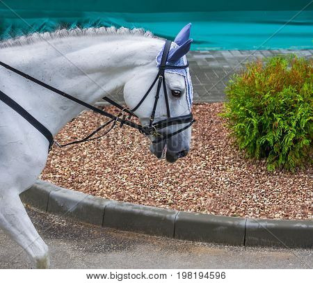 White dressage horse close up. White horse portrait during dressage competition. Advanced dressage test. Equestrian sport background.