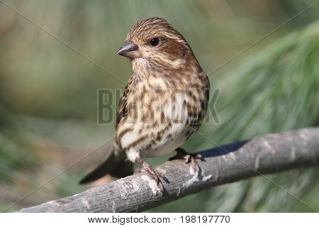 Female Purple Finch (Carpodacus purpureus) perched with a green background