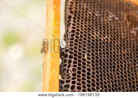 Dead bees, covered with dust and mites on an empty honeycomb from a beehive in decline, suffer from a colony collapse disorder