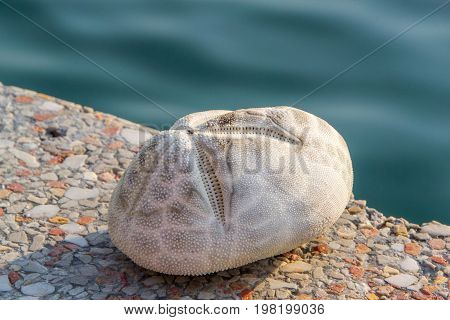Sea potato is a sea urchin in the family Loveniidae. It is found in sub-tidal regions in temperate seas around the world and lives buried in the sandy sea floor