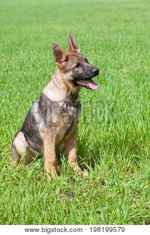 German Shepherd`s Puppy