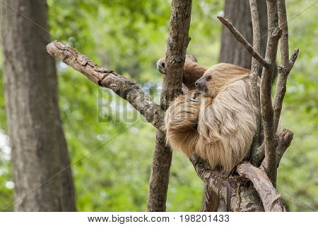 Thoughtful Sloth hanging around in a tree
