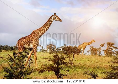A Herd Of Giraffes In The African Savannah . Serengeti National Park . Tanzania.