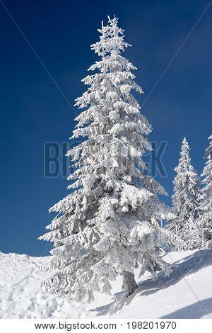 Snowy Fir Tree And Blue Sky