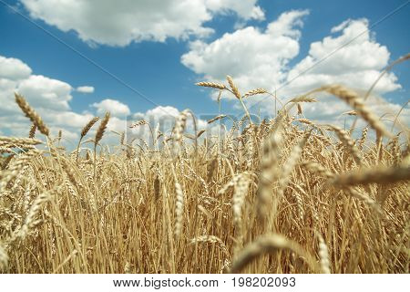 Agricultural background. Ripe golden spikelets of wheat in the field