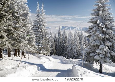 Snowy fir trees and blue sky in beautiful winter forest. Great Fatra mountains Slovakia