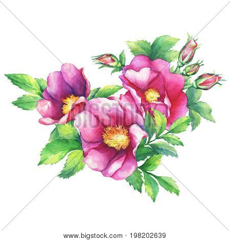 Banner with flowering pink roses (names: dog rose, rosa canina, Japanese rose, Rosa rugosa, sweet briar, eglantine), isolated on white background. Watercolor hand drawn painting illustration.