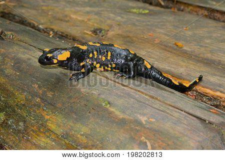 Black yellow spotted fire salamander Salamandra Salamandra resting on wooden log