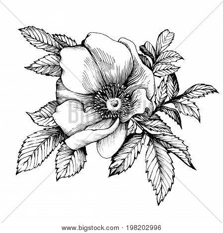 Graphic the branch flower dog rose names: Japanese rose, Rosa rugosa. Black and white outline illustration.