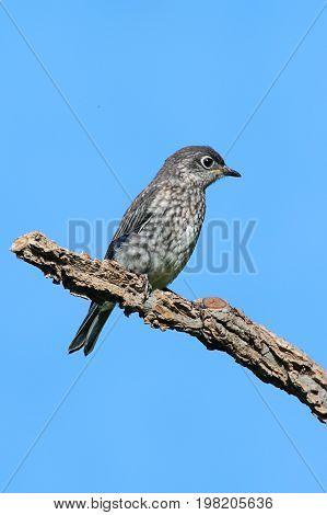 Juvenile Eastern Bluebird (Sialia sialis) on a branch