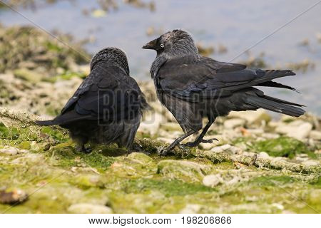 A pair of Jackdaws squabbling over a patch of territory