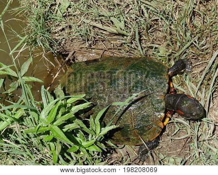Small turtle with green slimy molds on its shell crawling up the bank of a pond