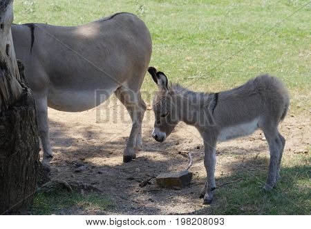 A cute baby mule standing next to its mother in a farm, with the mother mule's face hidden by a tree