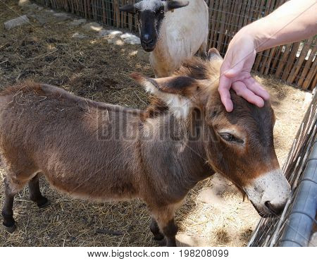 A small donkey gets a petting from a visitor in the zoo, while a white sheep looks on