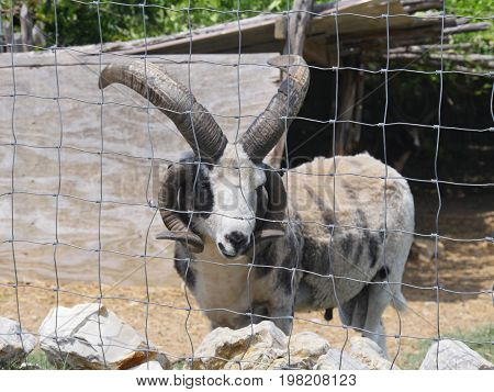 Four-horned Jacob sheep peeking outside through the wire fence in a zoo