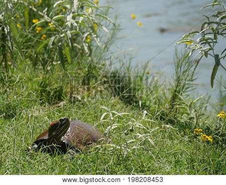 A small turtle crawls along green grass with yellow flowers on the bank of a lake