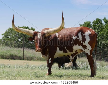 A Texas longhorn looking irritated in a pasture