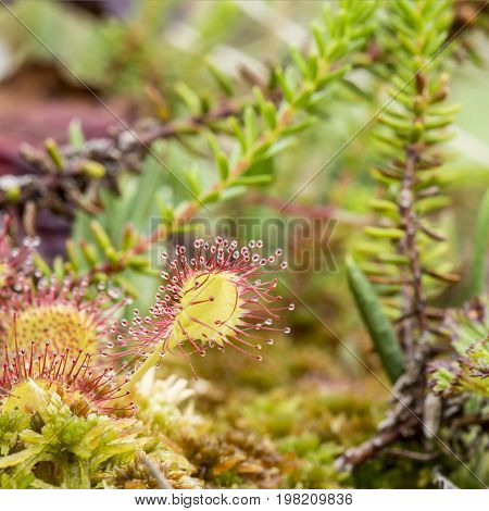 Beautiful round-leaved sundew (Drosera rotundifolia) is a carnivorous plant on a marsh on a summer day.
