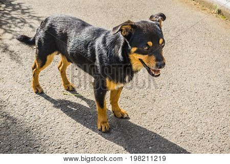 A Dog Mongrel Walks On The Sidewalk
