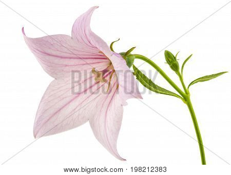 Rose flower of Platycodon (Platycodon grandiflorus) or bellflowers isolated on white background