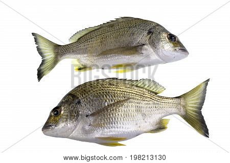The yellowfin bream Acanthopagrus australis is a marine and estuarine fish with yellowish pelvic and anal fins mostly with a silver body.