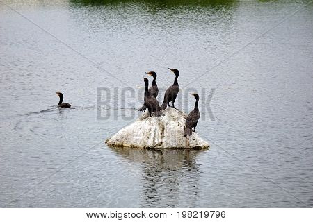 A flock of double crested cormorants (Phalacrocorax auritus) stands on a rock in a retention pond in Plainfield, Illinois, during June.