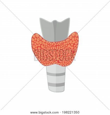 Thyroid gland in flat style for web infographics and medical design. Vector illustration. Isolated on white background
