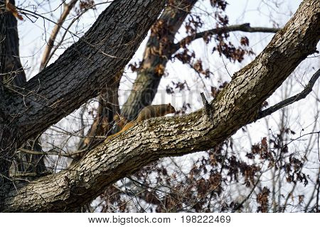 An eastern fox squirrel (Sciurus niger) climbs on a tree limb in the Hammel Woods Forest Preserve in Shorewood, Illinois, during December.