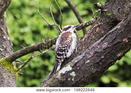 Downy woodpecker perched on a branch in Quebec Canada