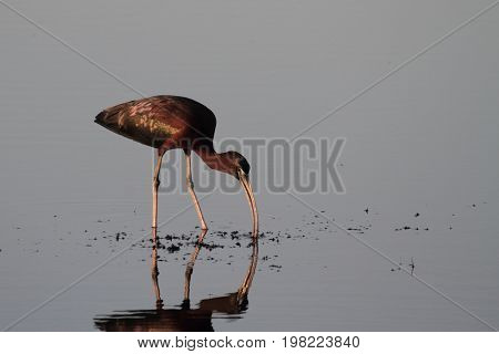 Glossy Ibis (Plegadis falcinellus) in the Florida Everglades