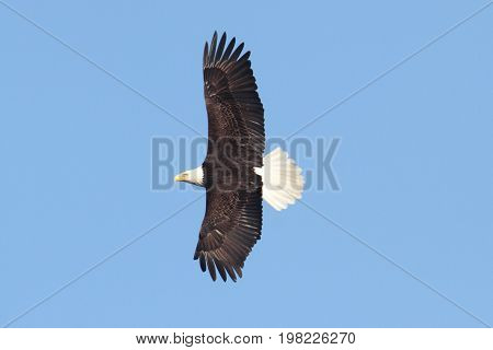 Adult Bald Eagle (haliaeetus leucocephalus) in flight against a blue sky