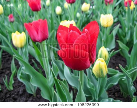 Spring landscape with flowers of red tulips of the Eldorado sort. Beautiful floral background of a flowerbed of bright tulips.
