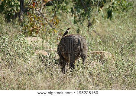 warthog in the Kruger National Park .