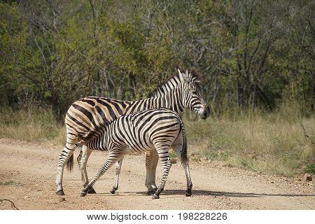 Burchell Zebra in the Kruger National Park