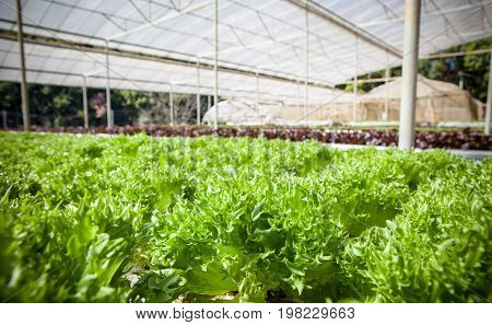 green leaves of hydorponics vegetable in green house