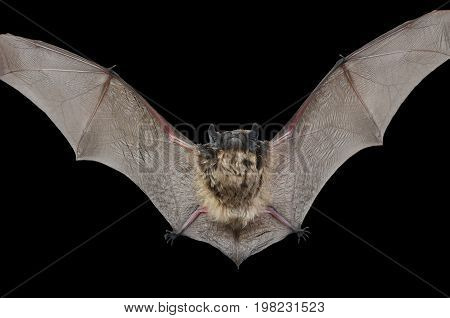 A close up of the small bat. Isolated on black.