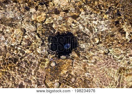 sea urchin under water on the beach