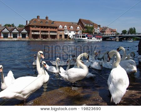 Swans on the River Thames