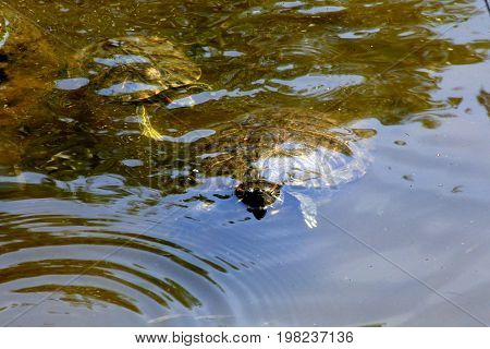 A red-eared slider turtle in a garden pond in a Japanese garden.
