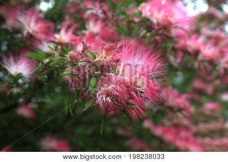 A Persian silk tree in bloom in Yamato Japan. In the U.S. these trees are often refered to as a type of Mimosa.