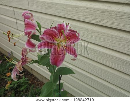 Star Gazer Lilly showing beautiful color in summer