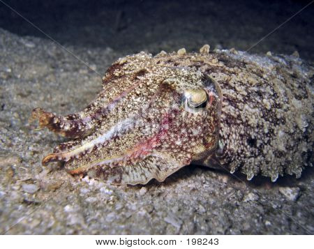 Night Cuttlefish