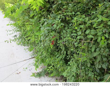 Nightshade Plant in summer showing leaves and various berry changes in color