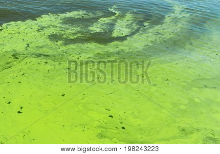 Ukrainian river Dnipro covered by cyanobacterias as a result of hot season