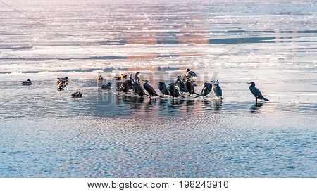 Birds and Ducks on Han river covered with ice in Winter Seoul in South Korea.