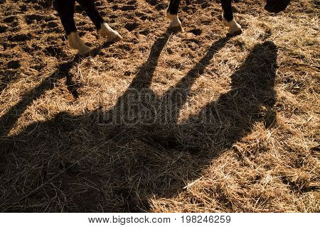Shade Projected By A Horse